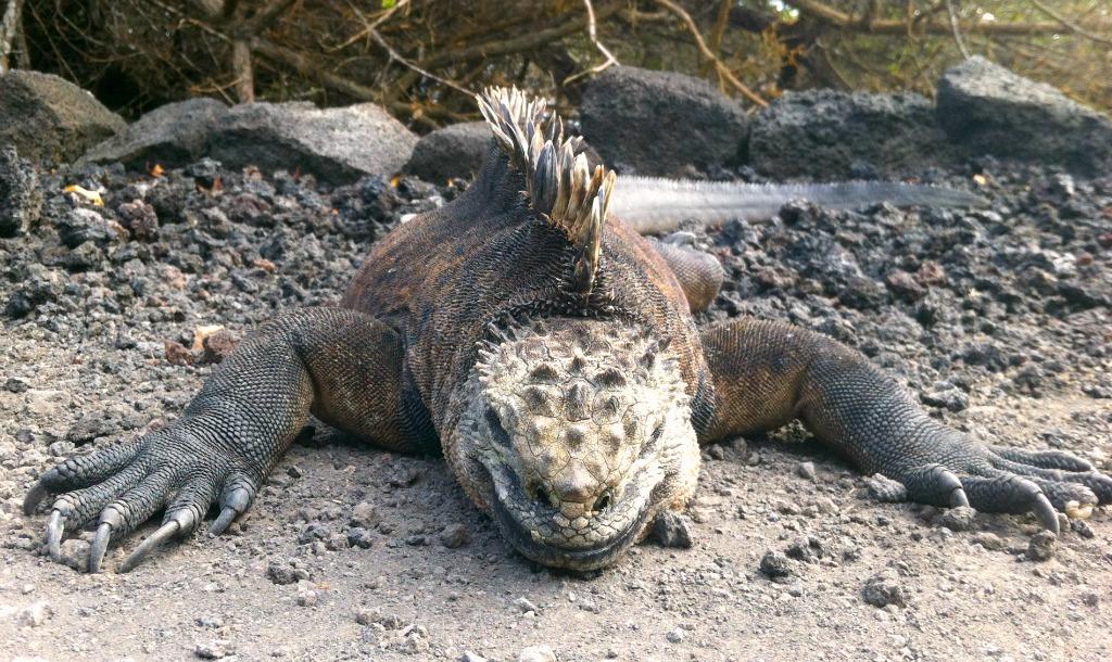 Vorsicht! Kreuzende Leguane