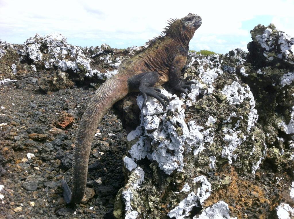 paarungswilliger Galapagos-Leguan