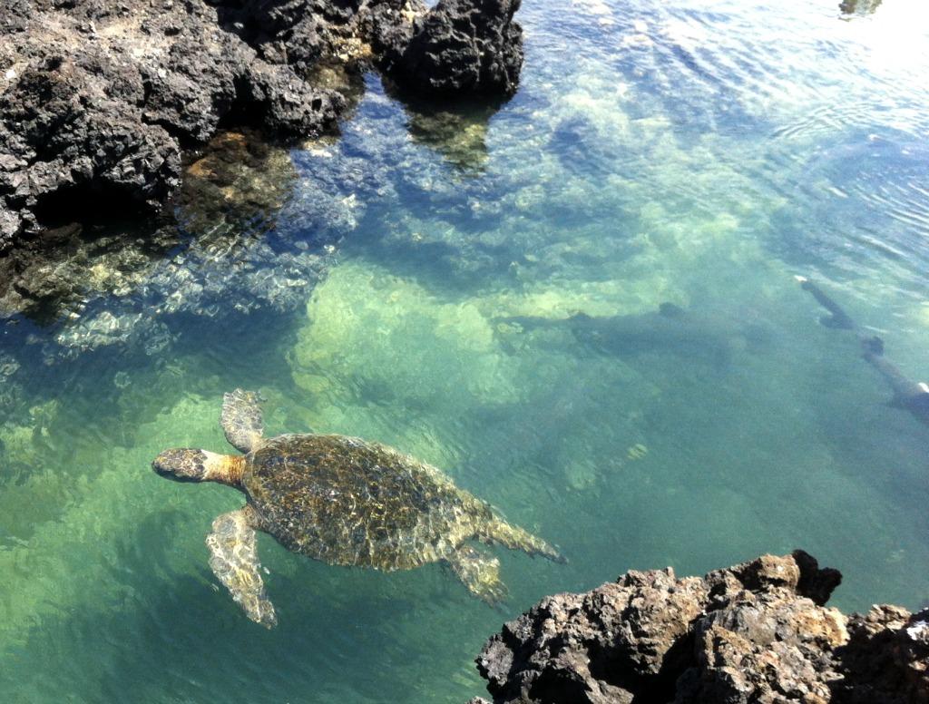 die unerschrockene Wasserschildkröte